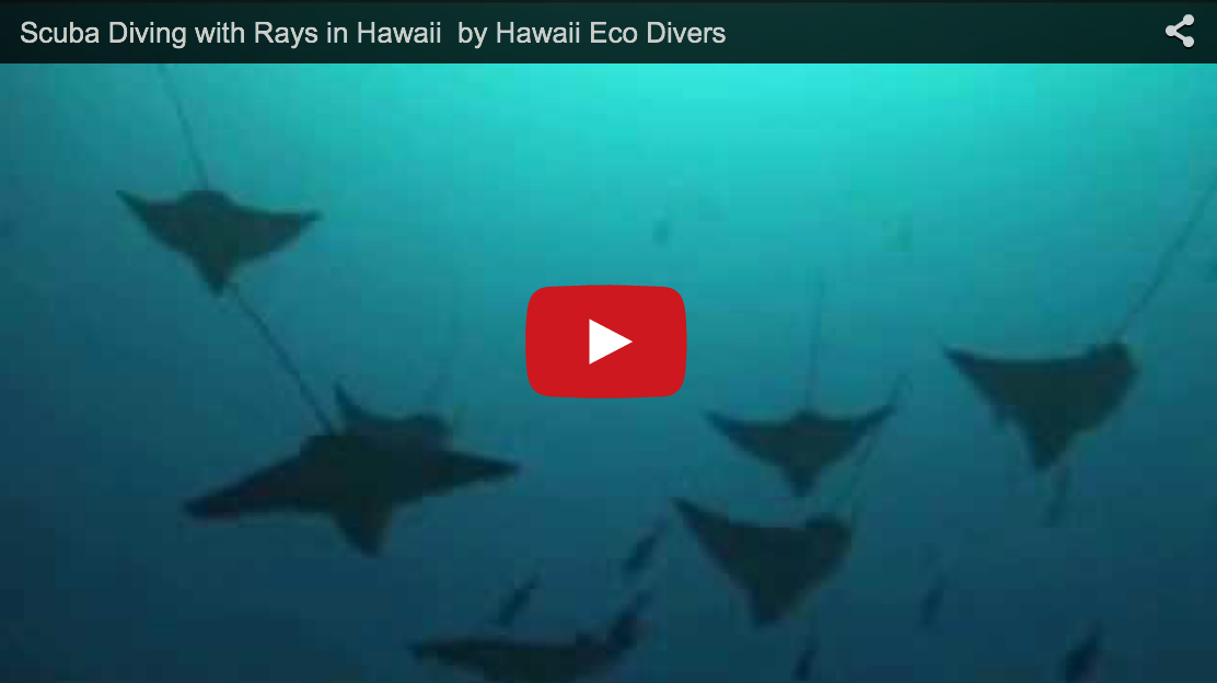 Scuba Diving with Rays in Hawaii