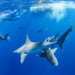 Oahu Shark Diving Tour by Hawaii Eco Divers