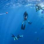 Oahu Shark Diving Tour freediver swimming with shark at Hawaii Eco Divers