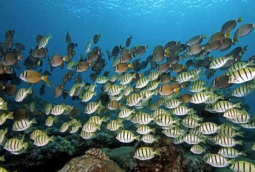 Hawaii Marine Life Reef Fish