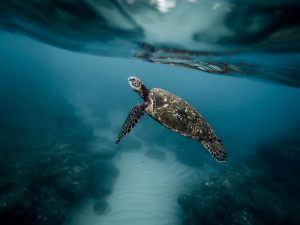 Hawaii Green Sea Turtle Oahu