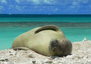 Hawaiian monk seal on Oahu beach