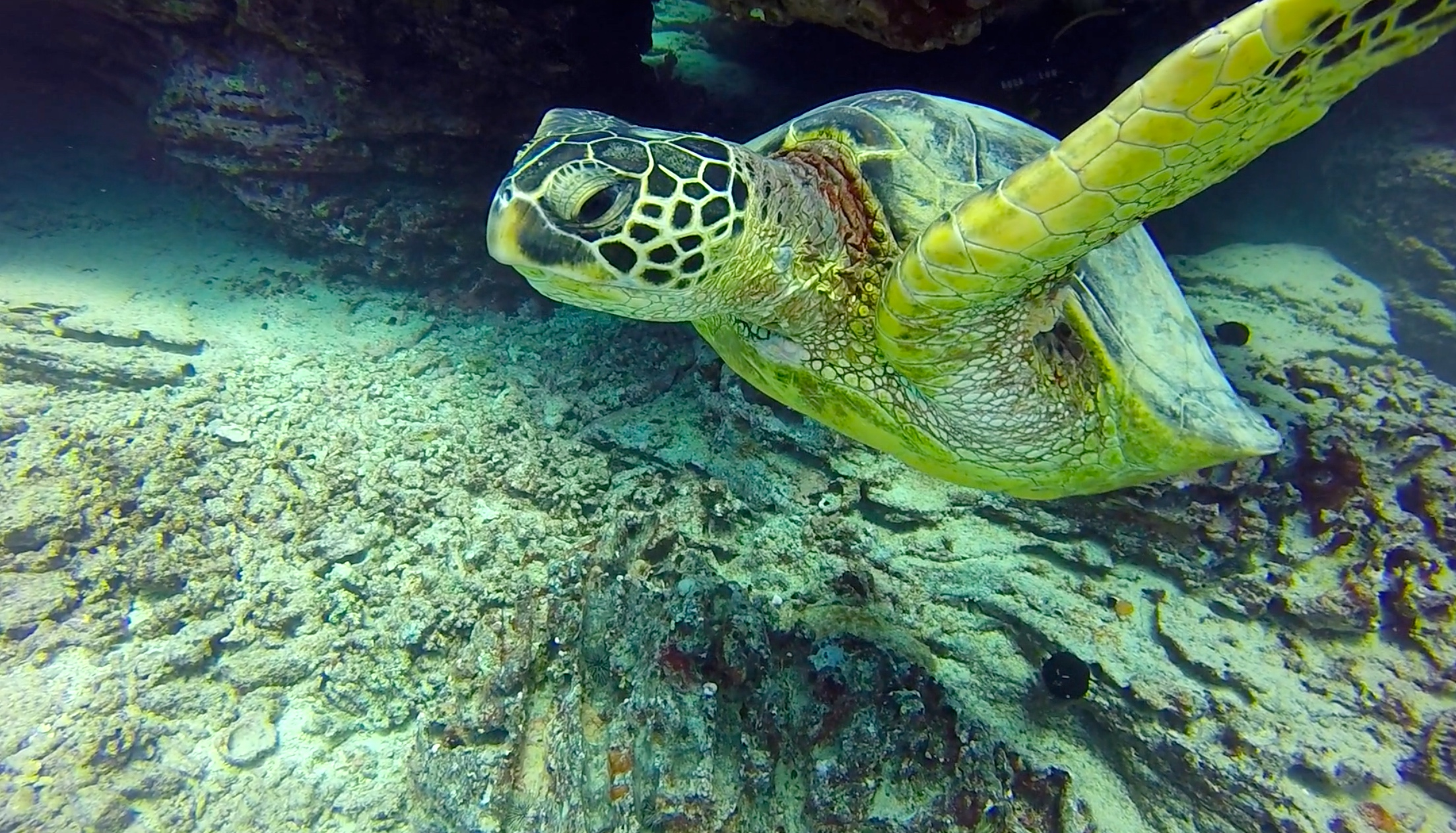 Sea Turtle at Fantasy Reef, Oahu's best dive site