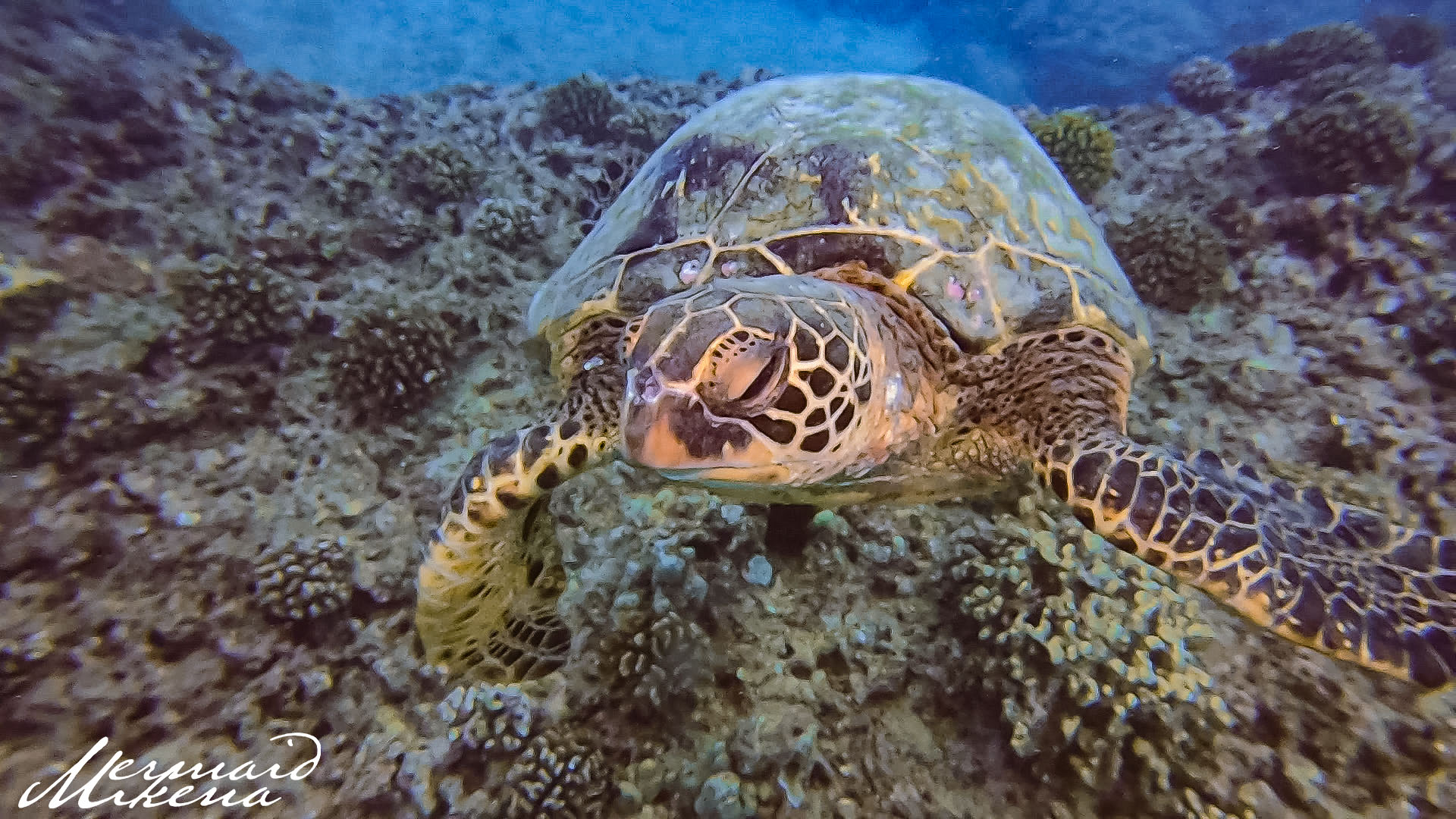 The Hawaiian Green Sea Turtle is the most common seen turtle in the waters of Hawaii