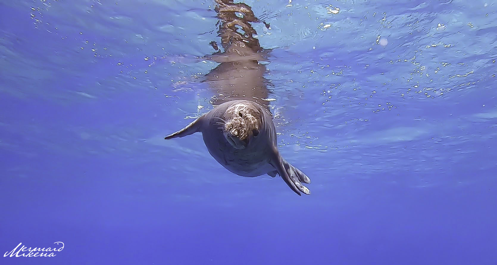 Face to face with a Hawaiian Monk Seal