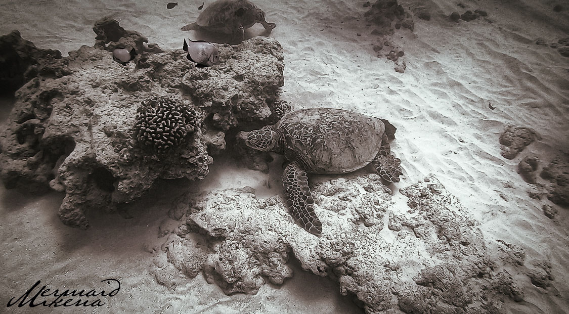 Hawaiian Green Sea Turtles are either floating around being very playful, or they're seen resting on the sea floor hanging.