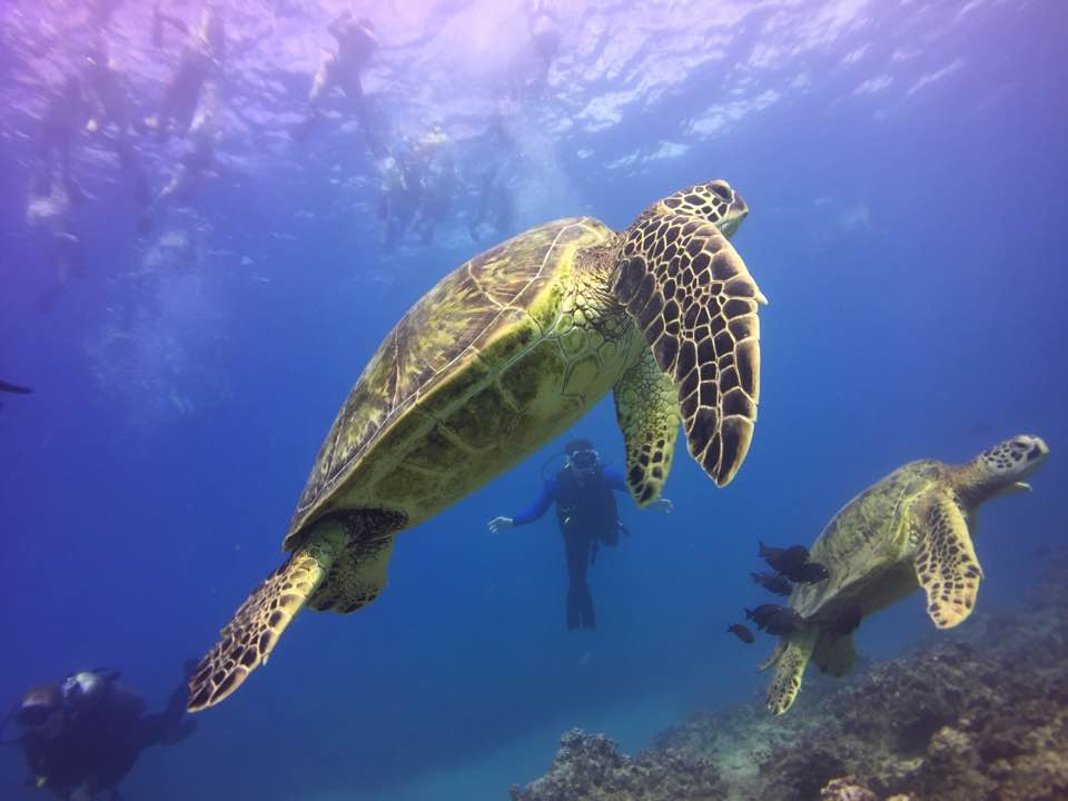 turtle swimming with the best scuba diving in oahu