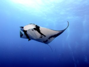 Ray Hawaii Marine Life