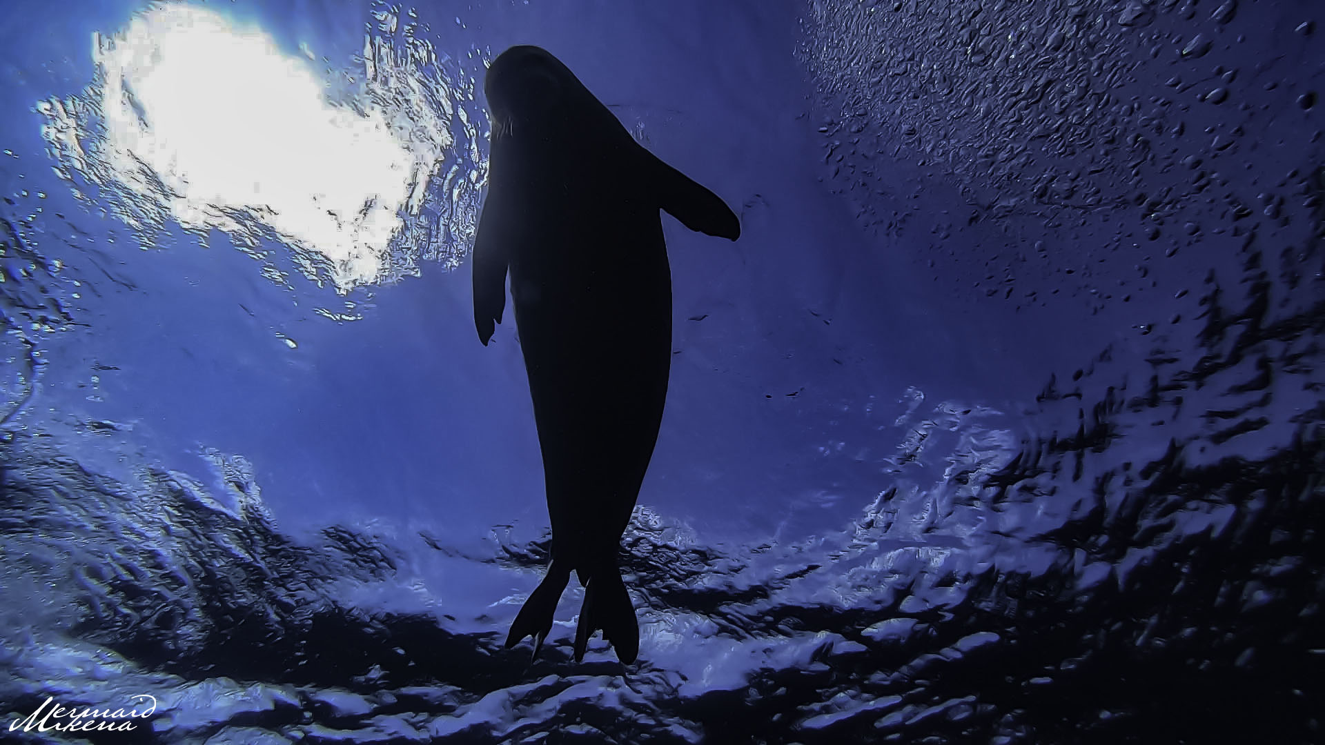 A Hawaiian Monk Seal swims overhead at Electric Beach, showing curiosity towards our divers.