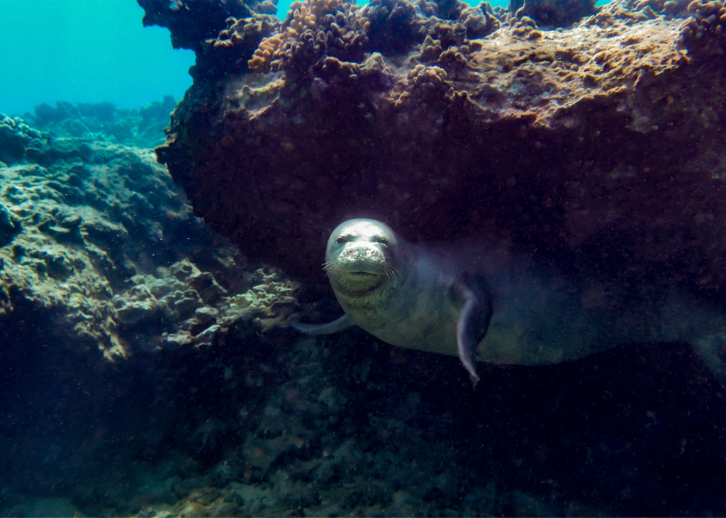 Diving with Monk Seals in Hawaii